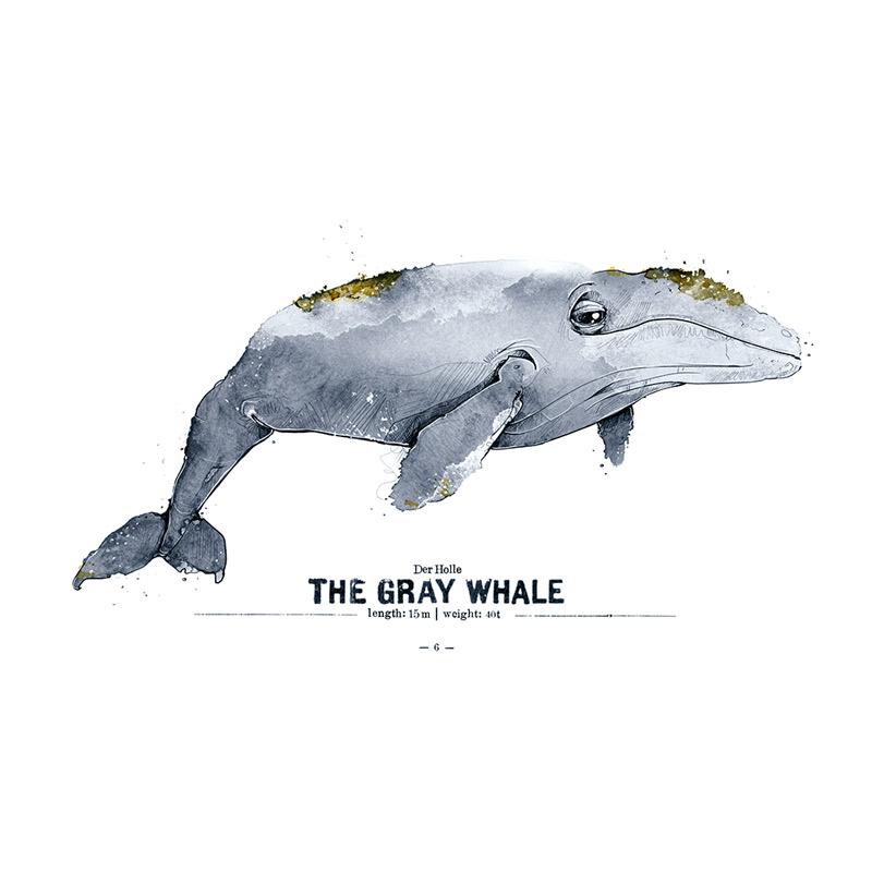 Grauwal Poster Spreadshirt derholle Bonn Aquarell Zeichnung