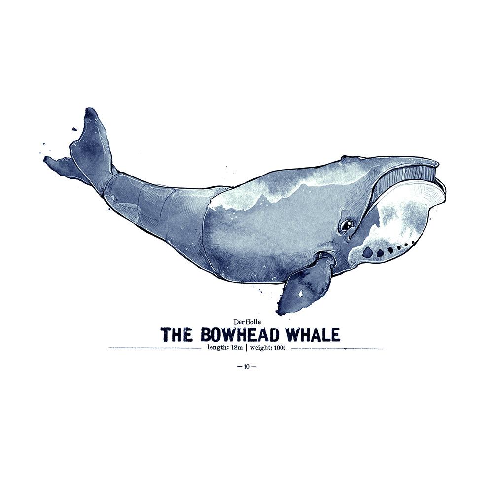 Grönlandwal Poster Spreadshirt derholle Bonn Aquarell Zeichnung